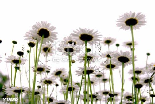 istock Daisies on white 92135890
