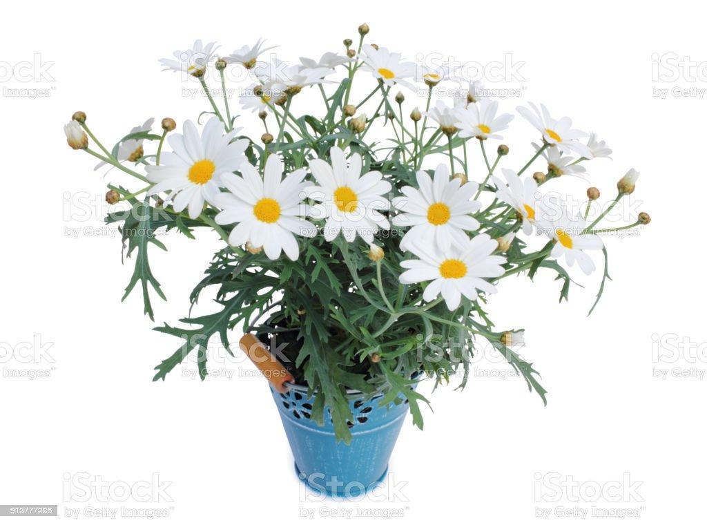 Daisies (Margeriten) perennials isolated on white background stock photo