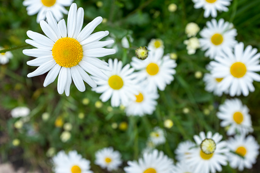 Field of daisy flowers,copy space for your text