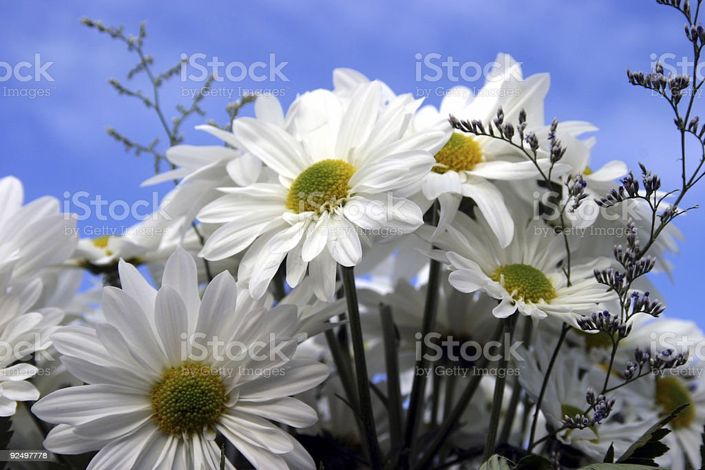 Daisies #2 royalty-free stock photo