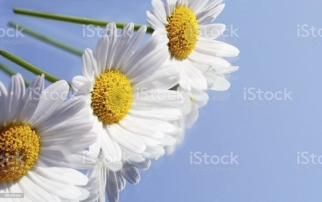 Marguerites royalty-free stock photo