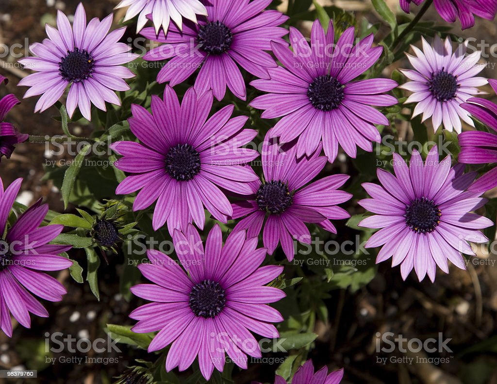 Daisies foto stock royalty-free