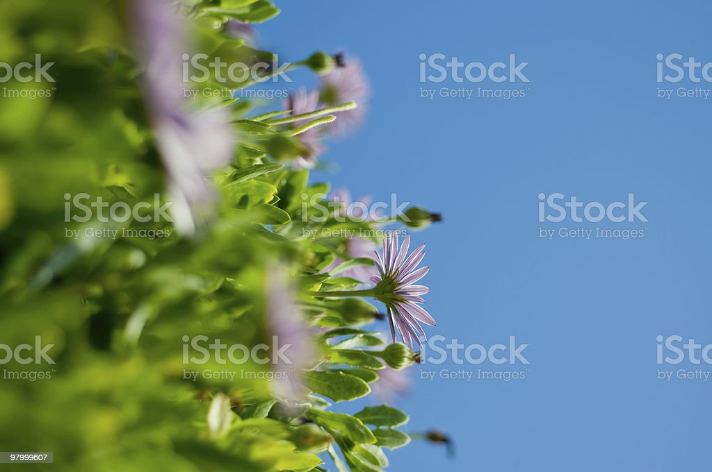 Daisies Reaching for the Sky royalty-free stock photo