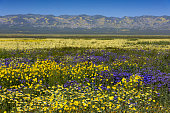 istock Daisies, Tidy-tips, and Phacelia in Carrizo Monument 681981882