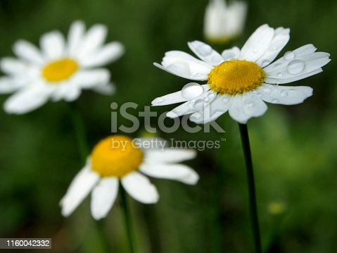 daisies with dew drops illuminated by the morning sun, soft focus, narrow focus area