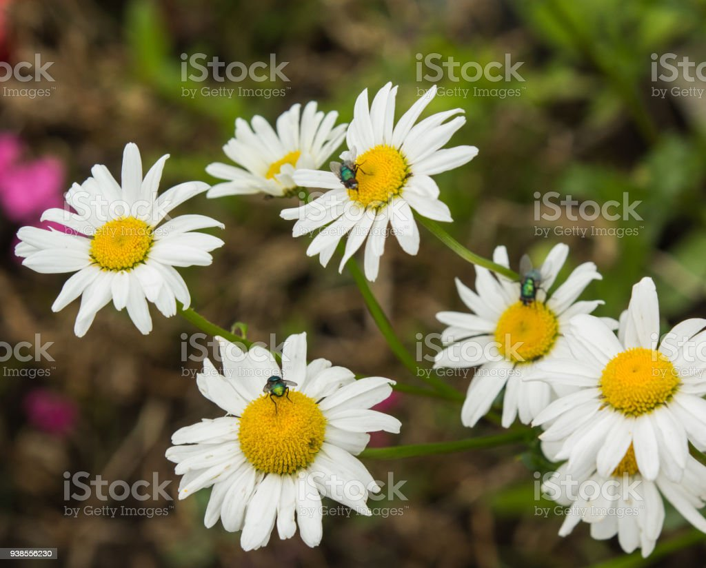 Daisies with flys stock photo