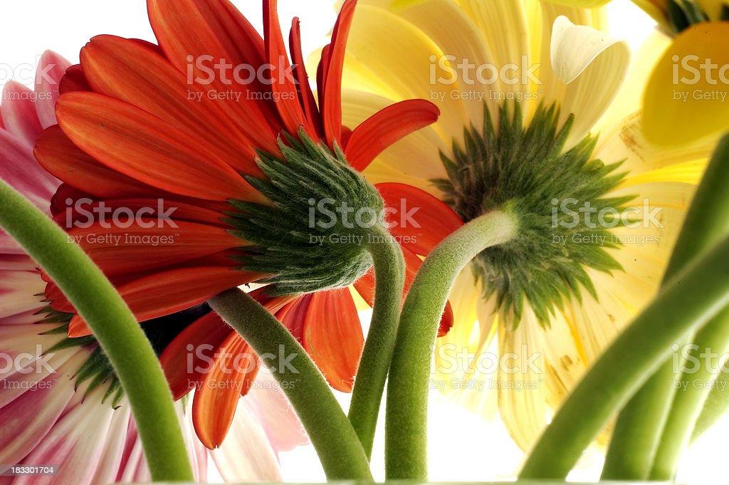 daisy 8 royalty-free stock photo