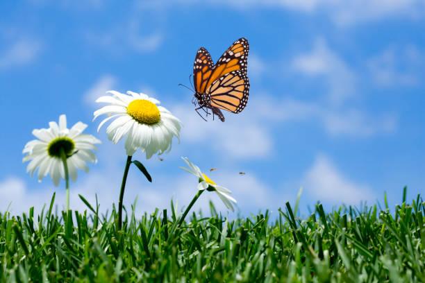 Daisy amp butterfly picture id173601338?b=1&k=6&m=173601338&s=612x612&w=0&h=nunioyfzun1s8of5yicmcuxo aprwgs2 wnjjrryz0u=
