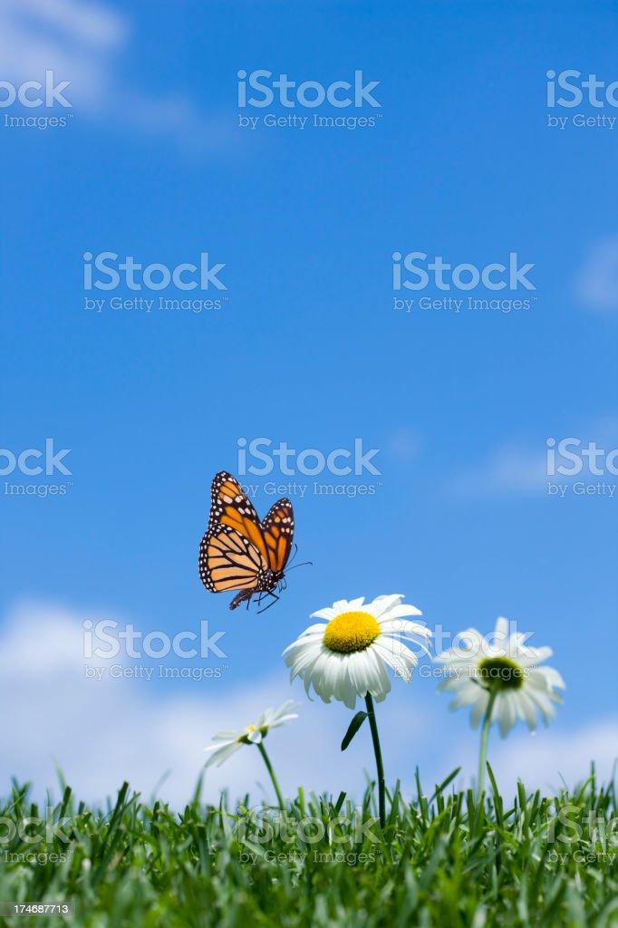 Daisy & Butterfly royalty-free stock photo