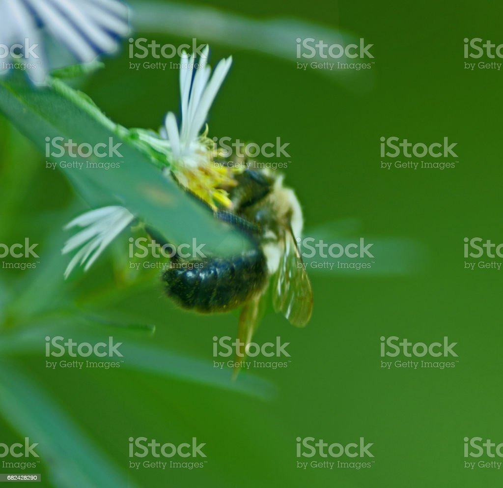 Daisy and bumlebee New york royalty-free stock photo