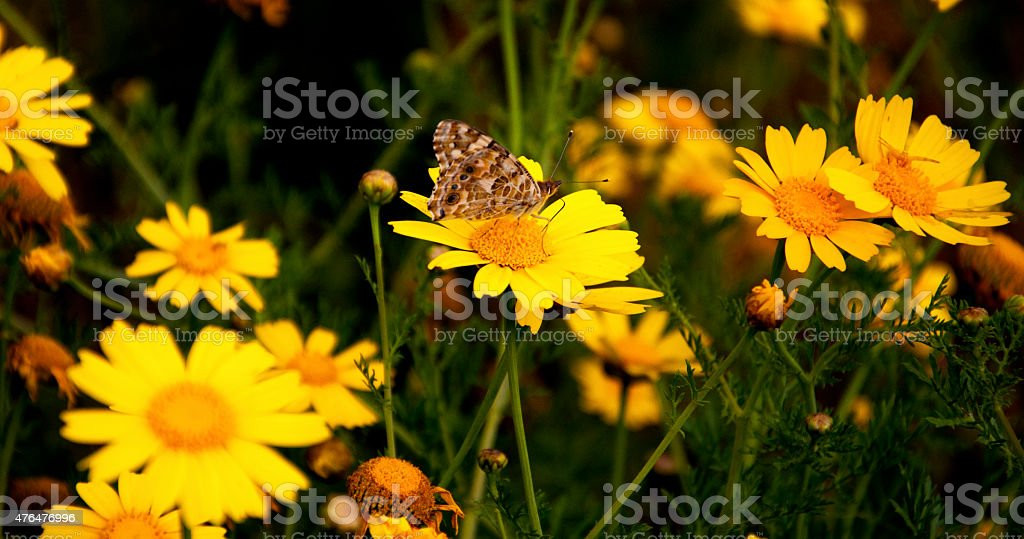 daisy and  butterfly stock photo