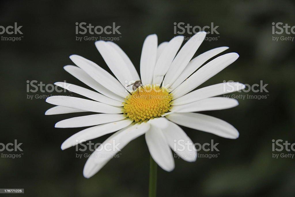 daisy and fly royalty-free stock photo