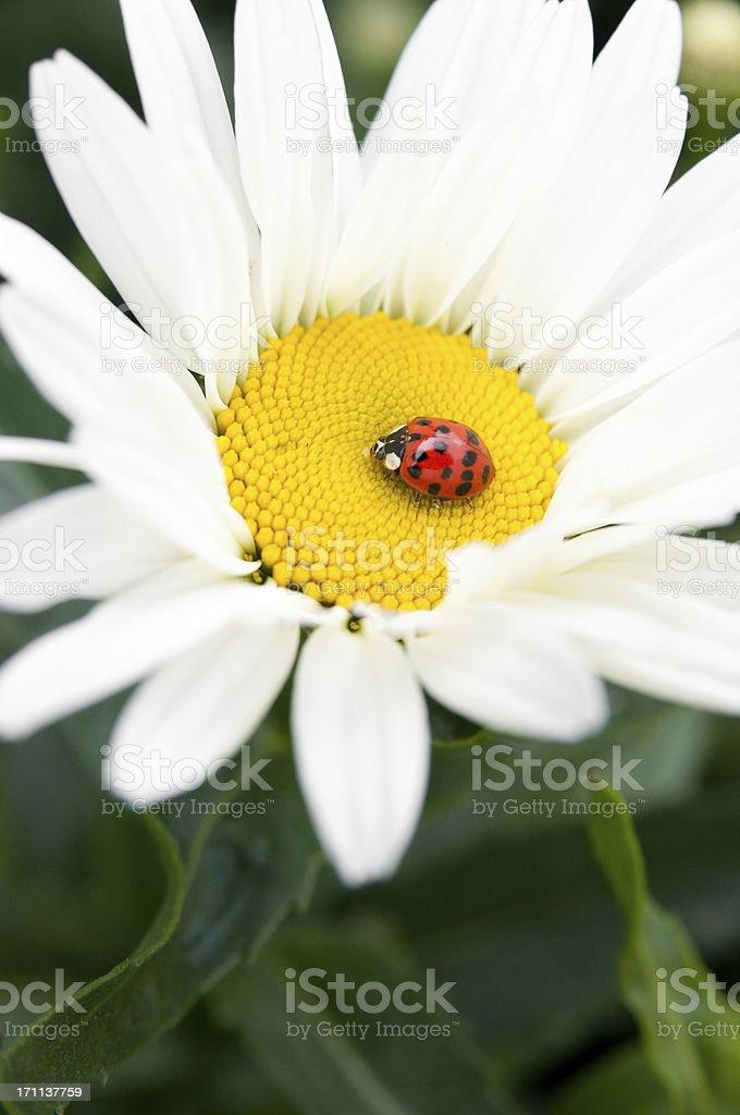 daisy and ladybug royalty-free stock photo