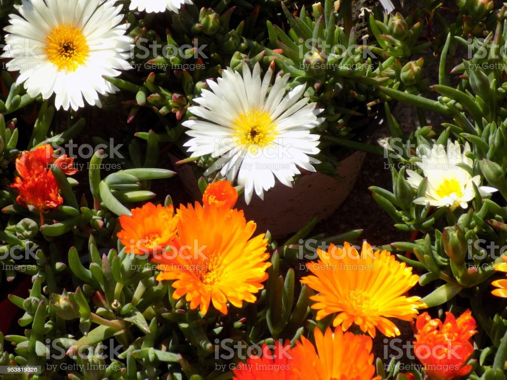 Daisy And Marigold Flowers In The Pots Stock Photo More Pictures