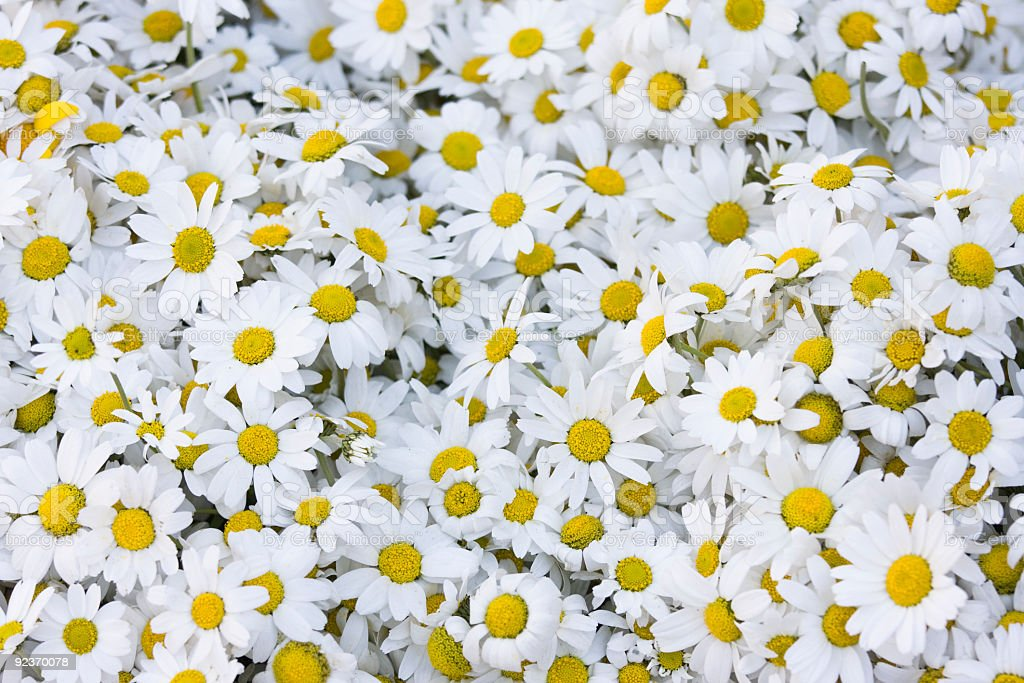 Daisy Asteraceae Background stock photo