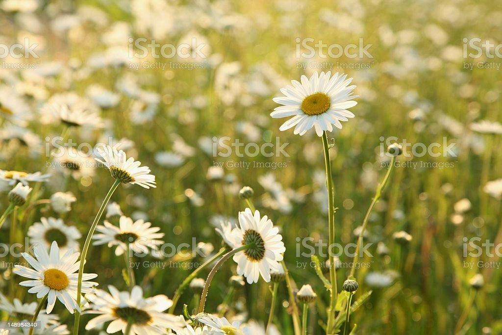Daisy at dawn royalty-free stock photo