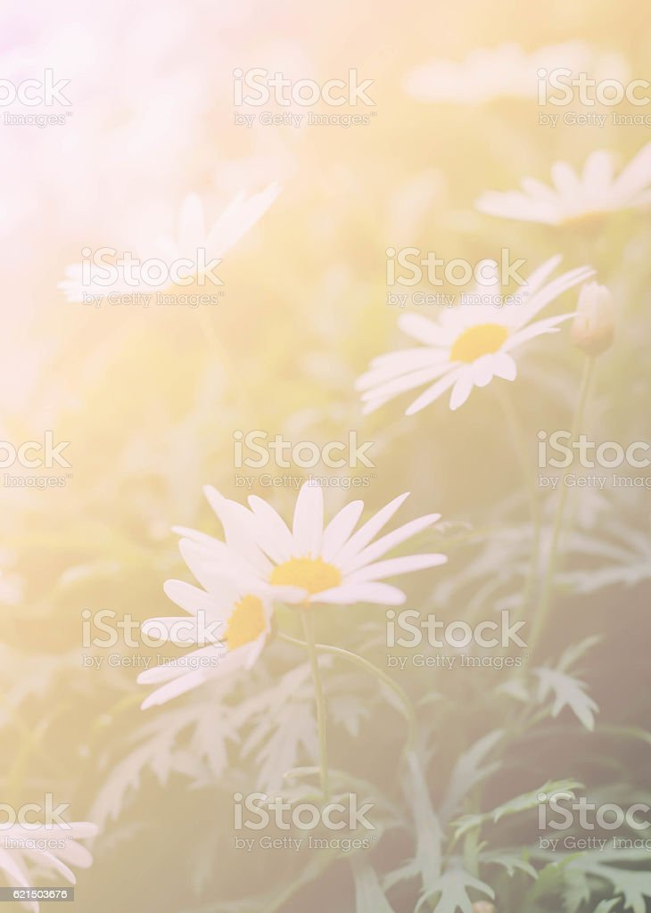 daisy background blur and soft focus photo libre de droits