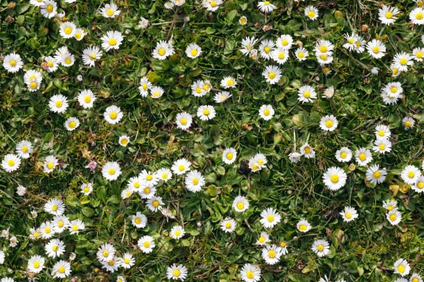 daisy achtergrondpatroon wilde madeliefjes bellis perennis - madeliefje stockfoto's en -beelden