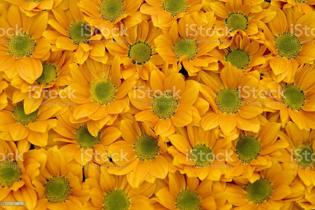 Daisy background royalty-free stock photo