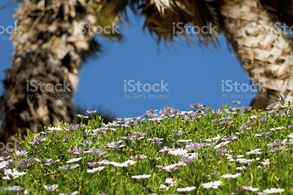 Daisy Bed Between Two Palm Trees royalty free stockfoto