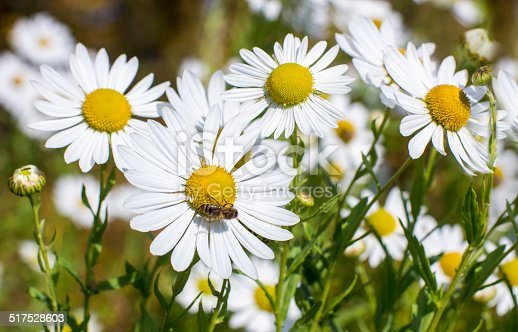 Close view of daisy blossoms and the bee on it.