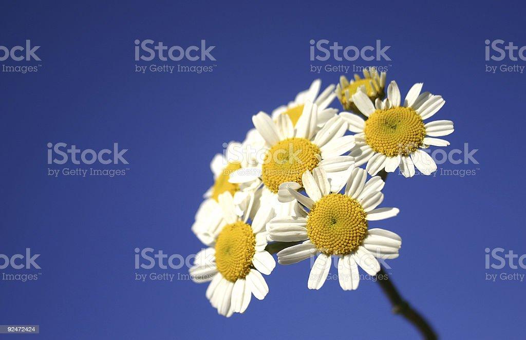 Daisy Bunch on Blue Sky royalty-free stock photo
