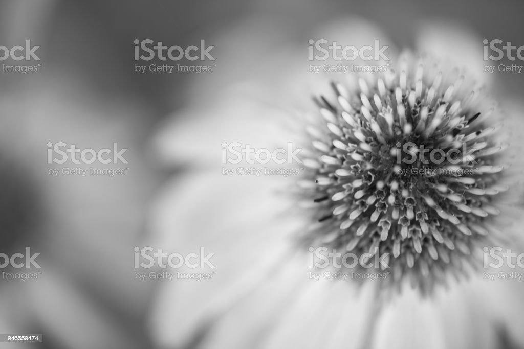 Daisy Burst Monochrome stock photo