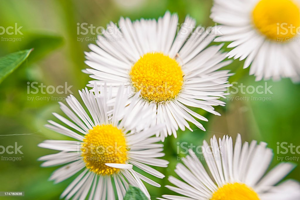 Daisy close up royalty-free stock photo