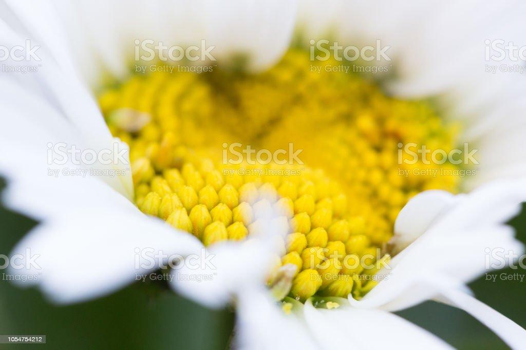 Daisy closeup stock photo
