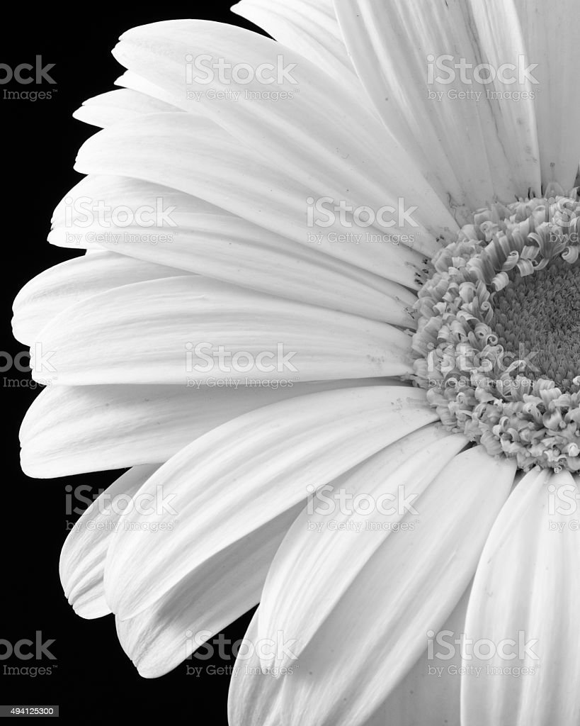 B&W Daisy Close-Up stock photo
