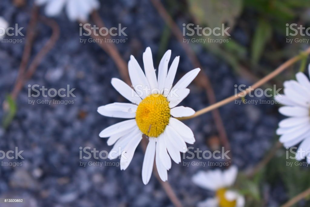 Daisy Close-Up stock photo