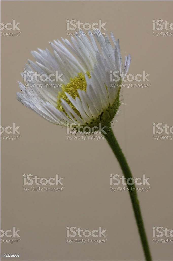 daisy composite chamomilla royalty-free stock photo