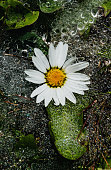 Close up of morning dew on a daisy.