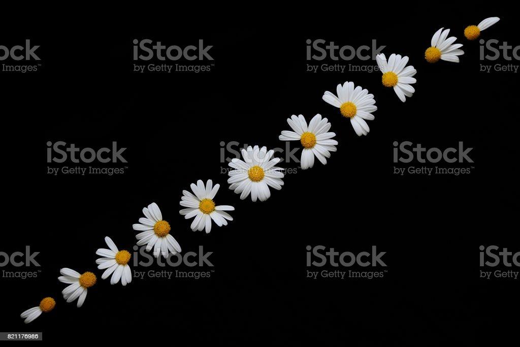 daisy eclipse stock photo