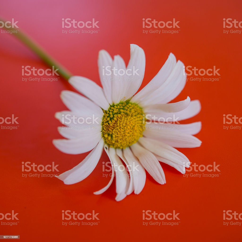 Daisy Field Flower On An Orange Background Stock Photo More
