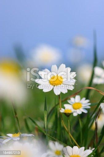 Daisy field on blue sky.