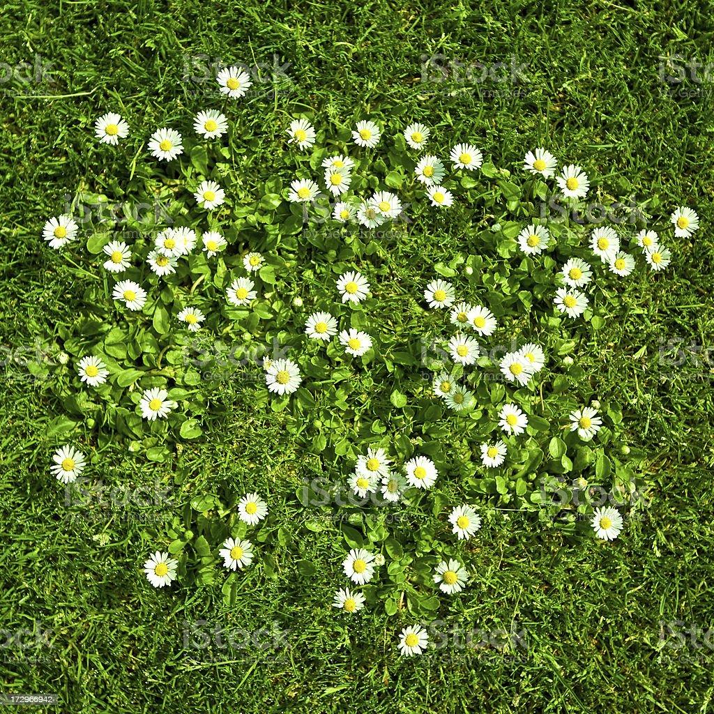 daisy field – Foto