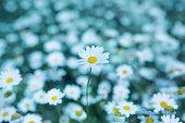 Field of daisy in spring