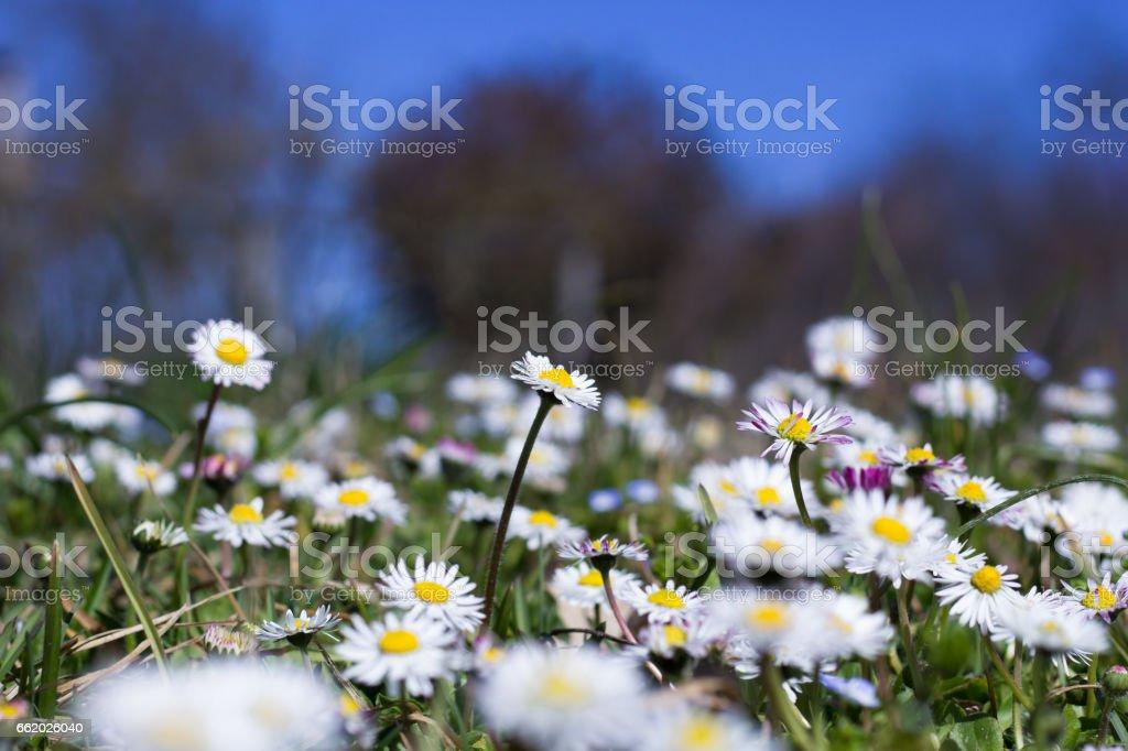 Daisy Field royalty-free stock photo