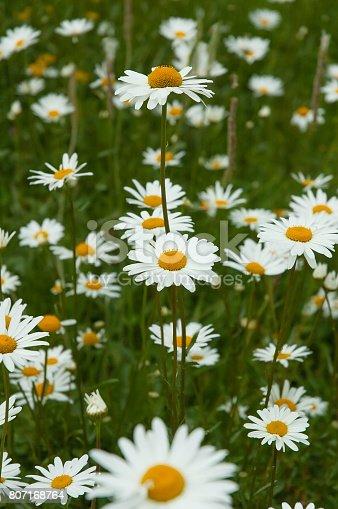Daisy field. Chamomile.