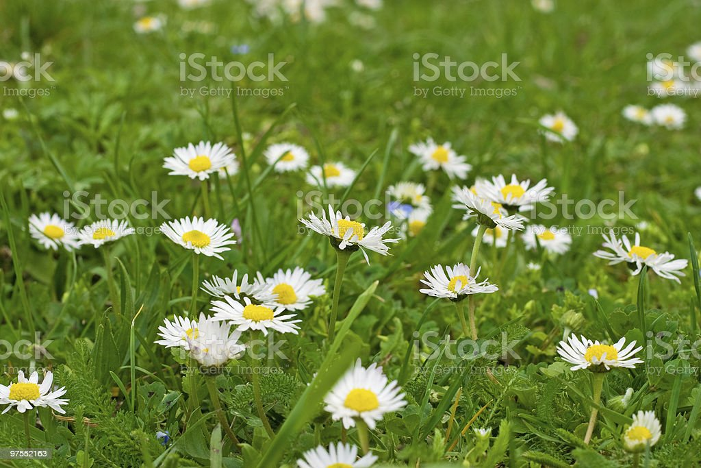 Daisy field royalty-free stock photo