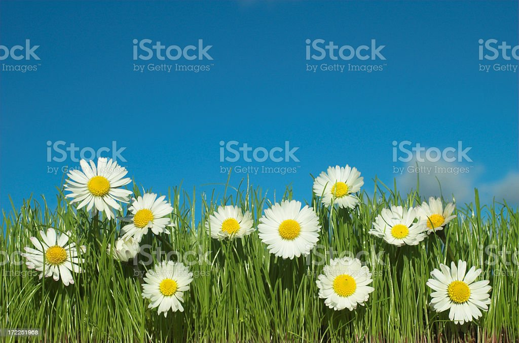 Daisy field with blue sky and green grass royalty-free stock photo