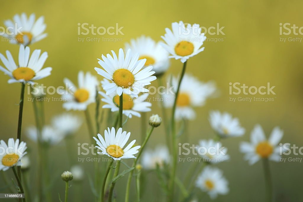 Daisy flower and defocused background royalty-free stock photo