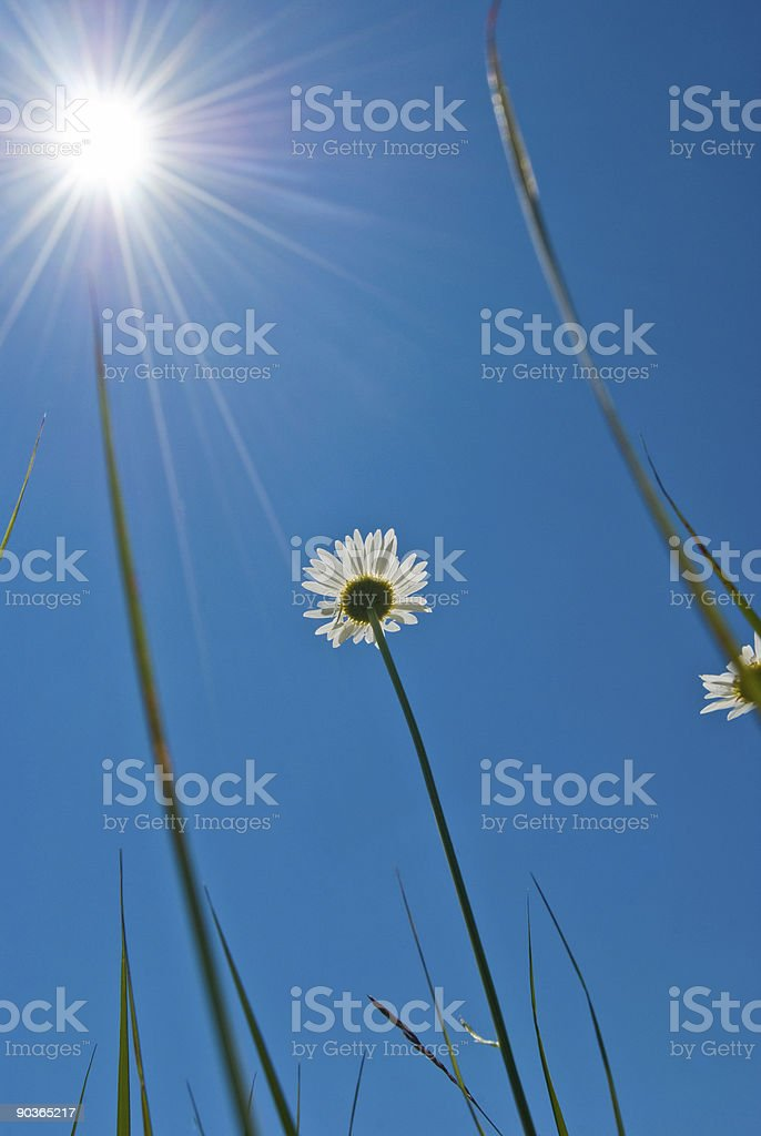 Daisy flower and sun royalty-free stock photo