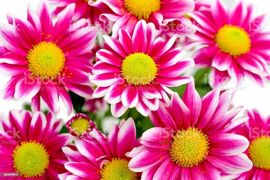 daisy flower background royalty-free stock photo