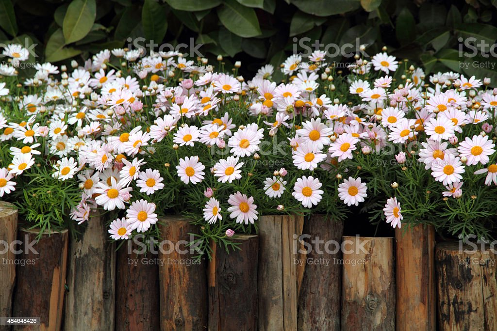 Lit de fleurs de Marguerite - Photo