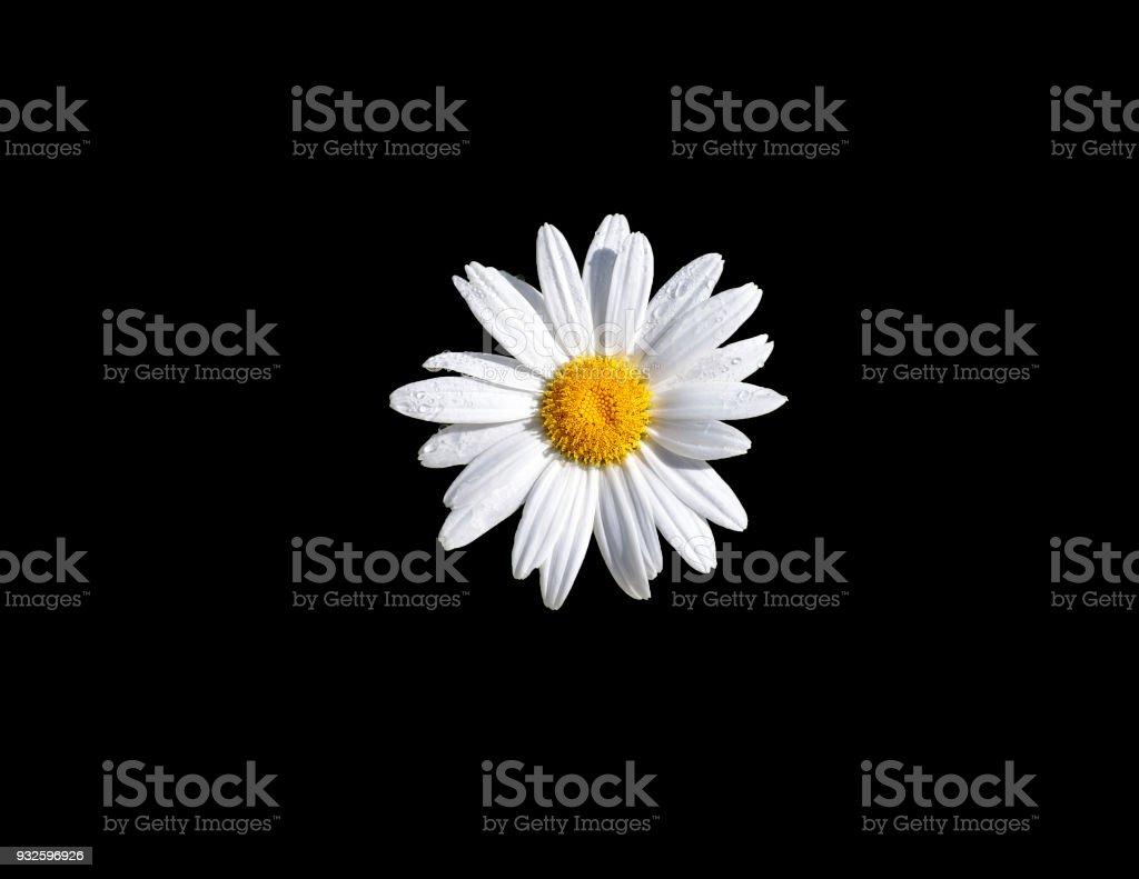 Daisy Flower - Black Background stock photo