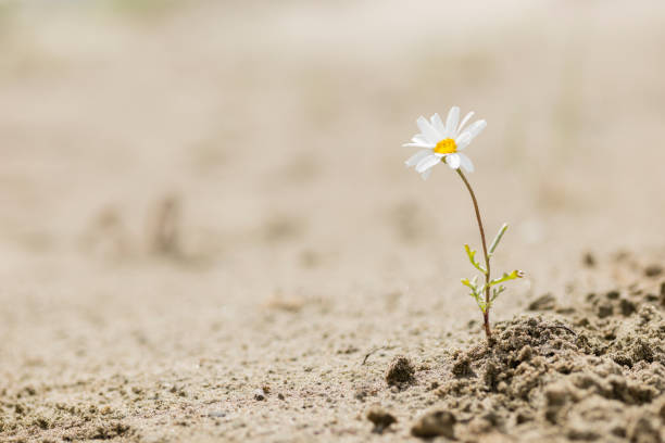 Daisy flower blooming on a sand desert Resilient daisy plant flowering on a sandy desert with no water. endurance stock pictures, royalty-free photos & images