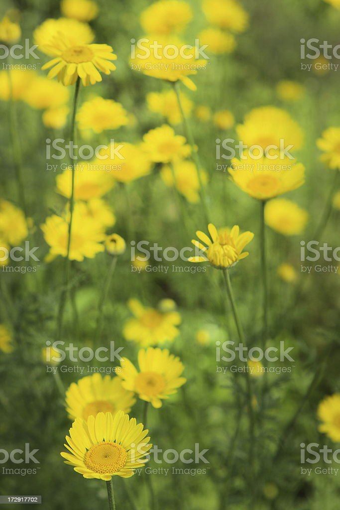 Daisy Flower Blossom Garden royalty-free stock photo