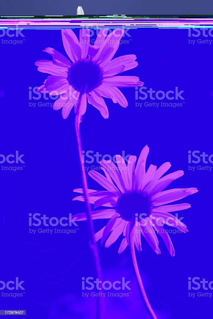 Daisy Flower Blossom Petals Stems royalty-free stock photo